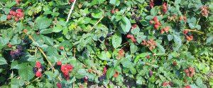 ブラックベリー豊作